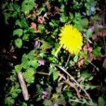1st Dandelion of the season