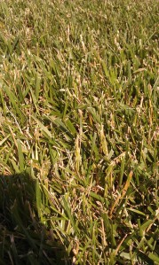 Indiana Grass