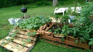 Cucumbers needed room at 3 weeks