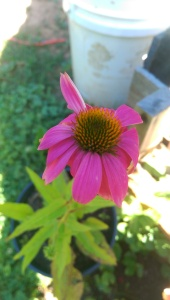 Bloomed cone flower